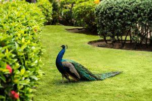 tropical-gardens_-peacock_3